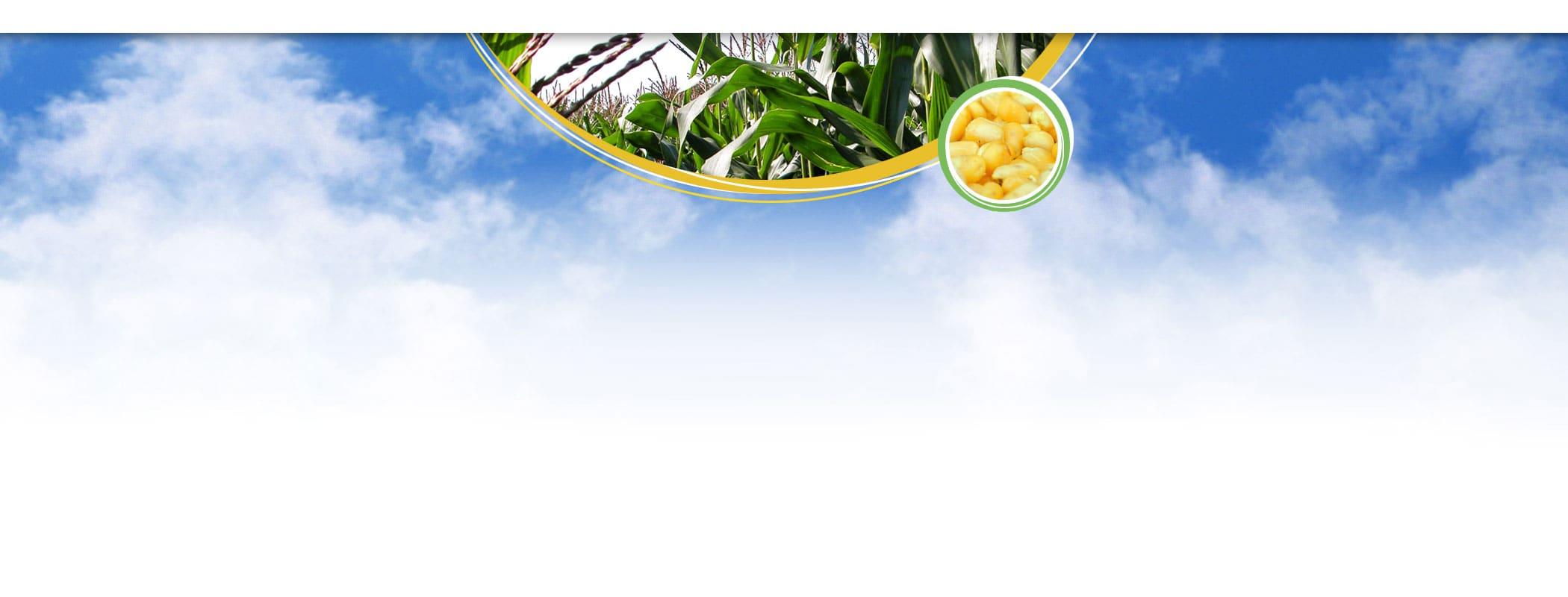 banner kukurydza