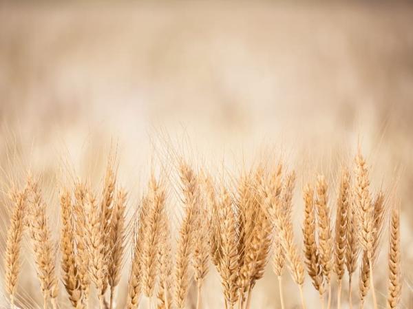 Nawożenie azotowe zbóż ozimych