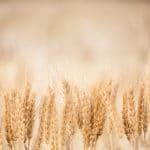 zboza 150x150 - Nawożenie azotowe zbóż ozimych