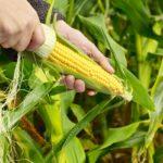 kukurydza 150x150 - Jak nawozić kukurydzę?