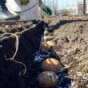 nawozenie ziemniakow 150x150 - Nawożenie ziemniaków. Podstawe informacje