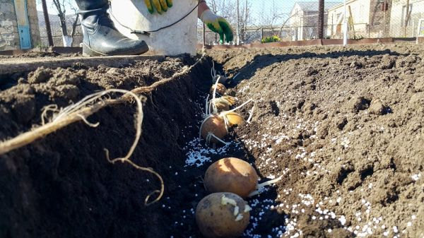 Planting potatoes with sprouts in the hole. The farmer planted seeds of sprouted potatoes in the soil. Soil fertilization with silitra.