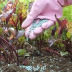 nawoz buraczki 150x150 - Zastosowanie nawozów w uprawie warzyw